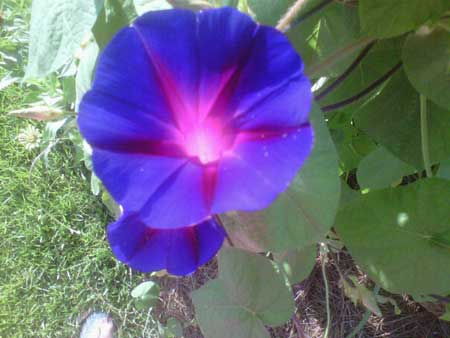 Flowers are food for the soul lil suburban homestead a morning glory in bloom on a beautiful summer morning mightylinksfo Images