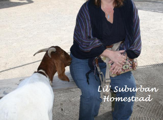 goat nipping at KarenLynn